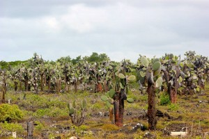 Prickly pear cacti, a very common plant in the Galapagos