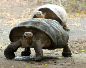 A flat-shelled giant tortoise
