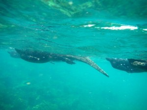 Underwater view of marine iguanas swimming